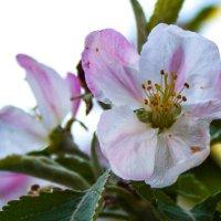 цветок :: Диана Матисоне