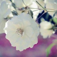 распустилась роза :: Karina Strionova
