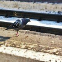 Однолапый голубь :: Сергей Селевич