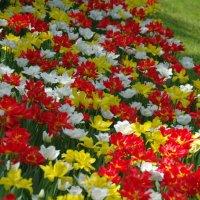 Тюльпаны :: Константин Вергун