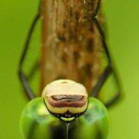 Глаза стрекозы :: Aleksey Bibin