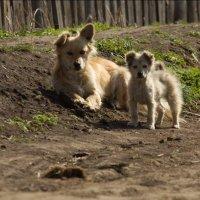 собачки милашки :: Алена Дегтярёва