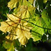 Кленовые листы :: Николай Варламов
