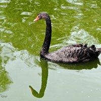 Черный лебедь :: Карине Чрикян