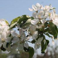 Яблони в цвету :: Елена Рубцова