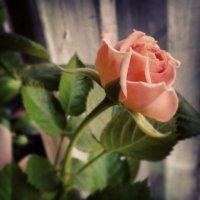 роза :: Алина Адаменко