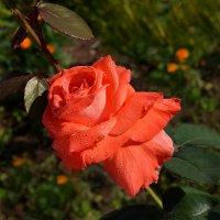 Красная роза ... рубином в бутоне :: Luis-Ogonek *