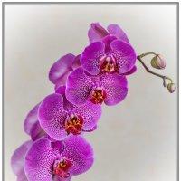 Орхидея Phalaenopsis :: Александр Морозов