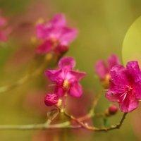 Где-то багульник на сопках цветёт... :: Александр | Матвей БЕЛЫЙ