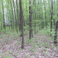 Весенний лес :: Владимир Циганенко