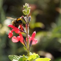 пчела на цветке в саду :: Елена Мартынова