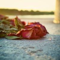 Вечер. розы.. :: Зинаида Сивова