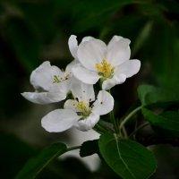 цвет яблони :: Александр Титов