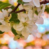 Яблоневый цвет :: Светлана