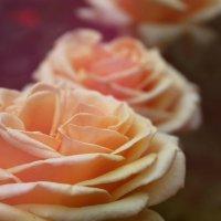 Розы.. :: Юлия Кутовая
