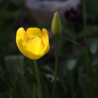 Жёлтый тюльпан :: Светлана Борисова