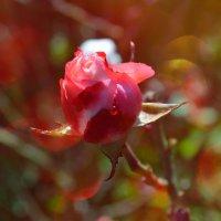 роза :: Алина Олицкая
