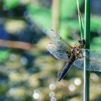 Стрекозы на Шумилинском озере. 05. :: Анатолий Клепешнёв