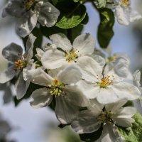 Яблони в цвету :: Павел Кузнецов