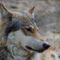 Серый волк :: Alexey Bogatkin