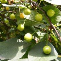 Будет...  вишневая наливка! :: Александр Скамо