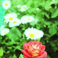 Роза пахнет розой, хоть розой назови её, хоть нет. :: Юрий Гайворонский