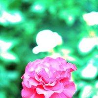 Женщины - как розы: расцветут и блекнут через несколько минут... :: Юрий Гайворонский