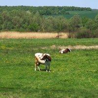 *На лугу пасутся Ко...* :: Алина Тазова