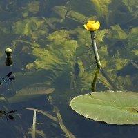 Стрекозы и лилии :: Weles