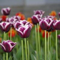 Фестиваль тюльпанов :: Марина Сорокина