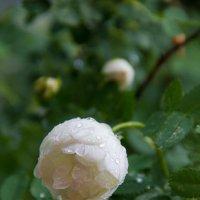 капли дождя :: Светлана Фомина
