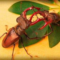Бой жуков рогачей :: ViP_ Photographer