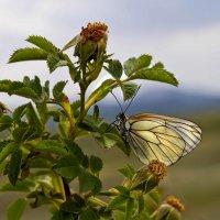 Беленькая бабочка :: Геннадий Валеев