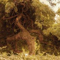 Заколдованное дерево :: Оксана Ветрова