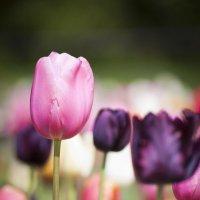 Тюльпановое поле :: Мария Ауэр