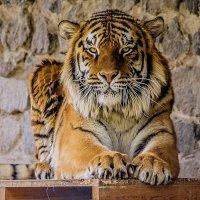 Тигр :: Роман Романенко
