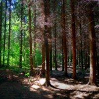 в еловом лесу :: юрий иванов
