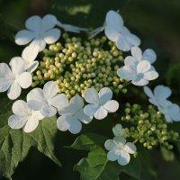 белые цветы :: Александр Корнелюк