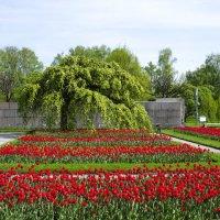 Тюльпаны :: Игорь Максименко