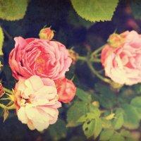 Vintage roses :: Olga Volkova