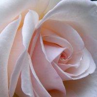 Внутри розы :: Александр Скамо