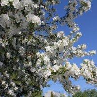 Ветка яблони :: Наталья Золотых-Сибирская