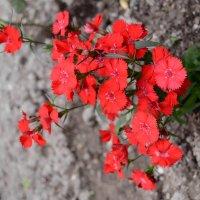 красные цветы :: Katerina Sheglova
