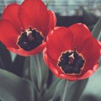 Тюльпаны :: Валентина Печникова