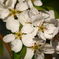 груша цветет :: Alex Krashchuk