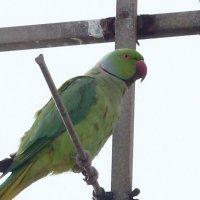 зелёный попугай :: Пётр Беркун