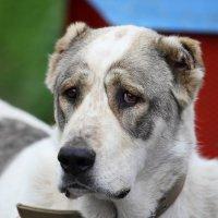 самый грустный пес :: Олег Хатефов