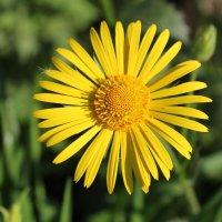 Летние цветы :: Елена Севастьянова