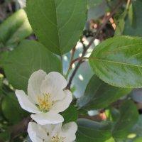 цветок дерева ранетка :: Екатерина-капризная ))))