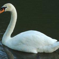 Белый лебедь на пруду :: Александр Качалин